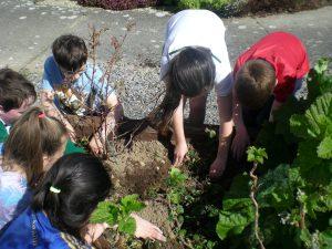 School Garden-Strawberry planting